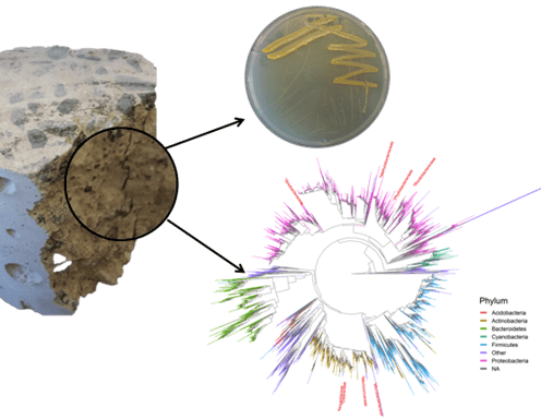 We have confirmed that there are microbes in concrete by cultivating them (top) and by 16S amplicon sequencing (bottom). Next, we will use metagenomic sequencing from geographically diverse samples to compare the microbes in concrete from different parts of the country.