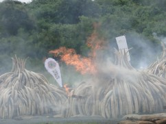 As the Ivory, Burns in flames Nairobi National Park