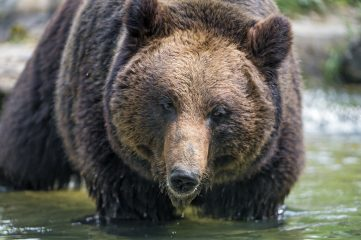 photo of a brown bear bathing