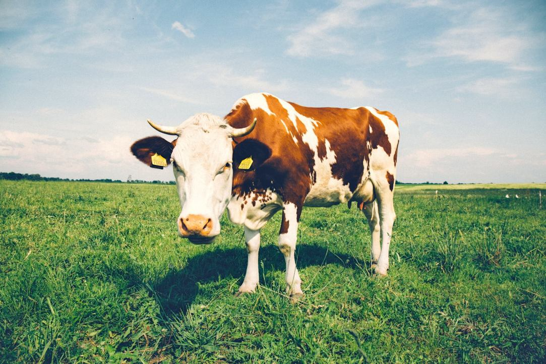 photo of brown and white cow in field