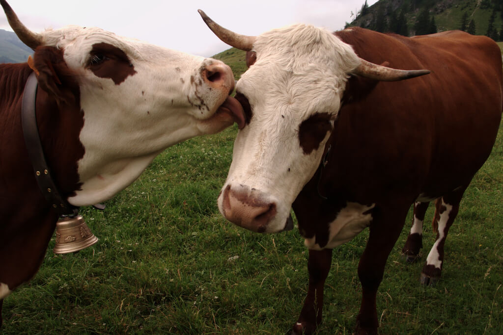 photo of cow licking another cow's face