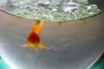 photo of goldfish in bowl