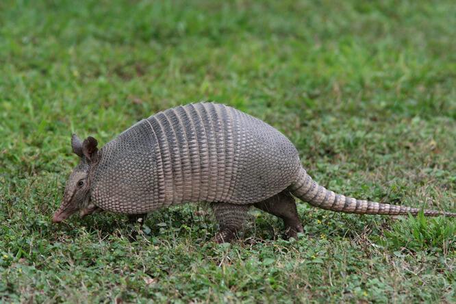 photo of armadillo