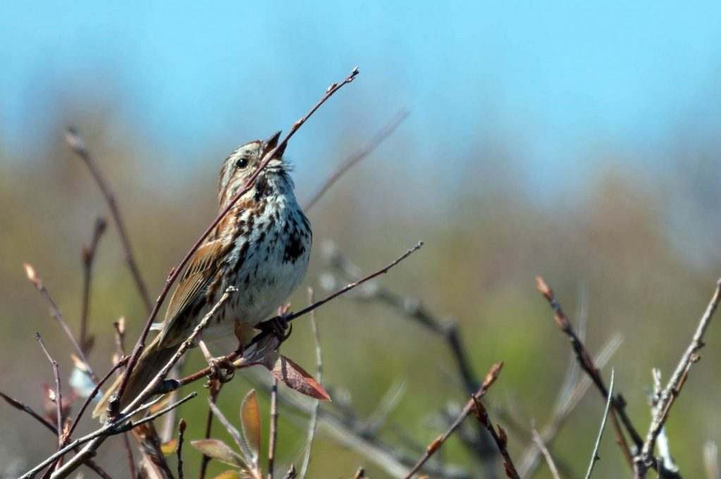 photo of a sparrow