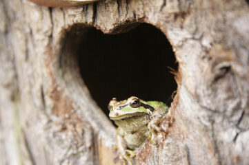 photo of a frog sitting in heart-shaped hole in tree