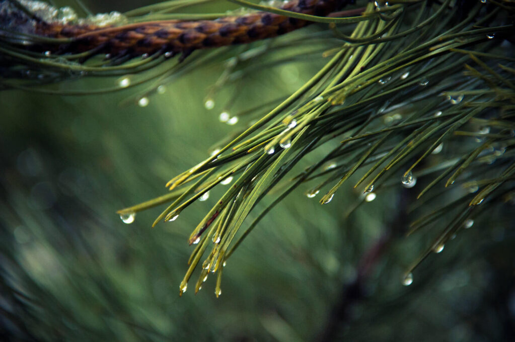 photo of pine needles