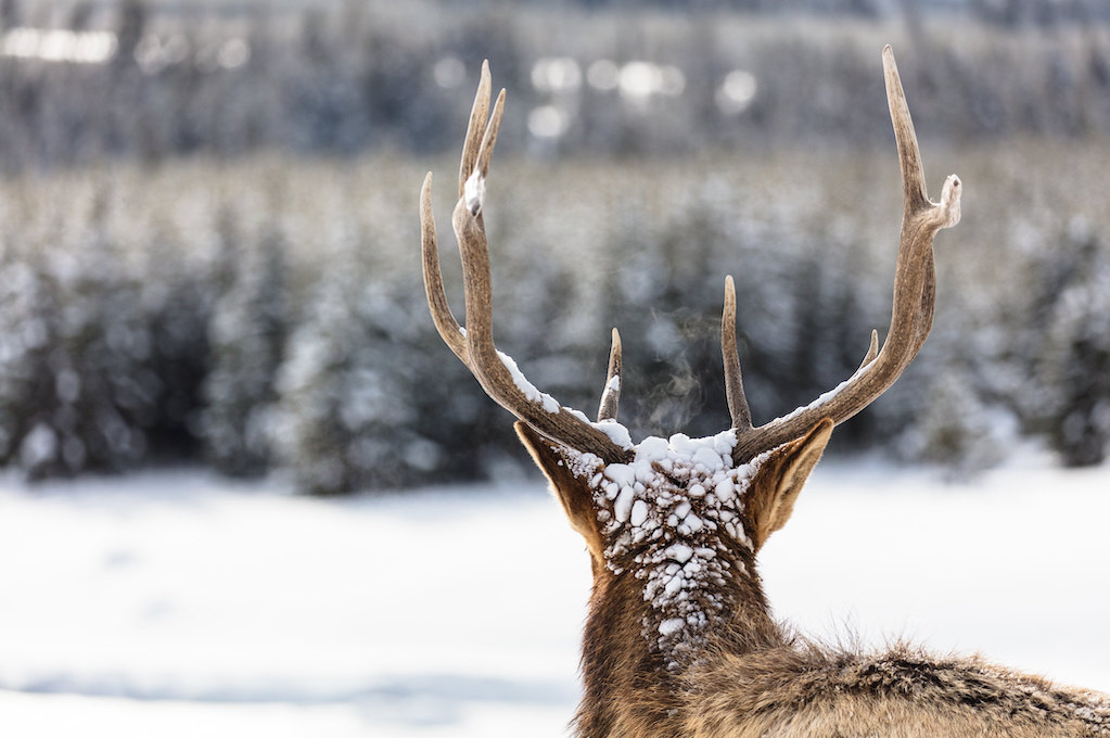 photo of an elk (from behind) in winter