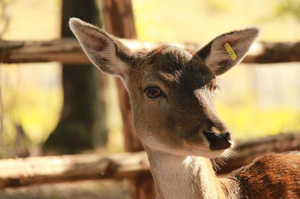 photo of a deer