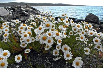 photo of daisies by the sea