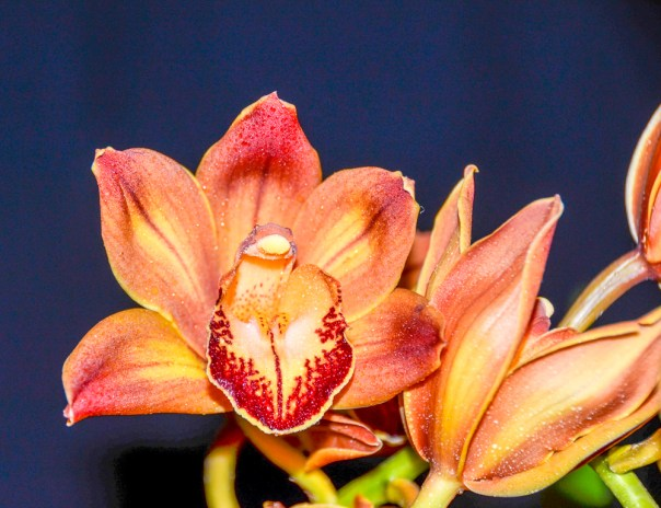 Farm Flowers Cymbidium Orchid 2-21-14 (11)