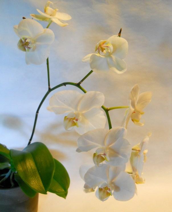 Orchids 2014 (6)