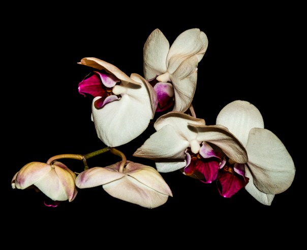 Phalenopsis Orchid 4-22-16 (1)-2