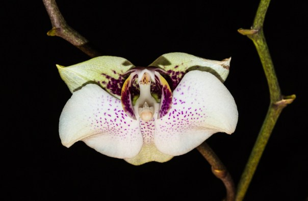 Phalenopsis Orchid 4-22-16 (14)