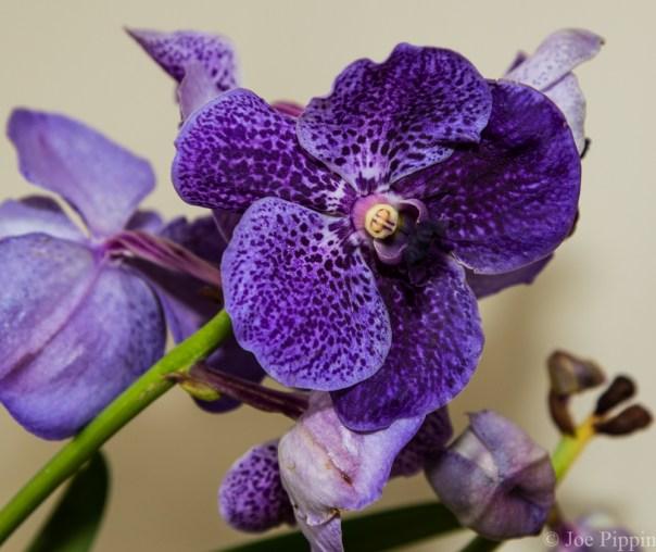 Vanda Orchid 1-22-16 (12)