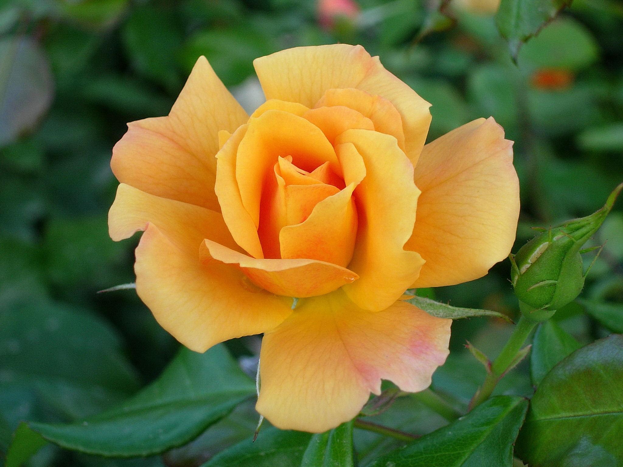 Gonzalo Rojas Tres rosas amarillas  Unas palabras dichas