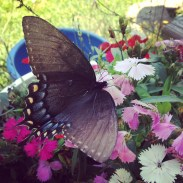 and butterflies abound atthe homestead too
