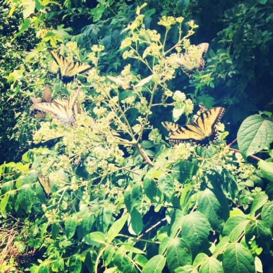 the butterfly colony