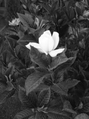 White_rose_by_Cecilrac