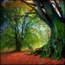 ancient beech tree kinclaven scotland photo by angus clyne
