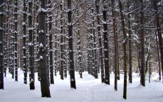 Stand of pine trees in the snow