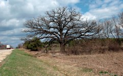 Large bur oak without leaves agains cloudy blue sky