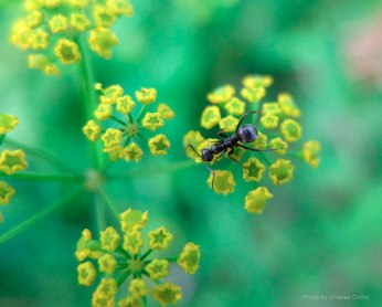 A small black ant crawling on golden alexanders.