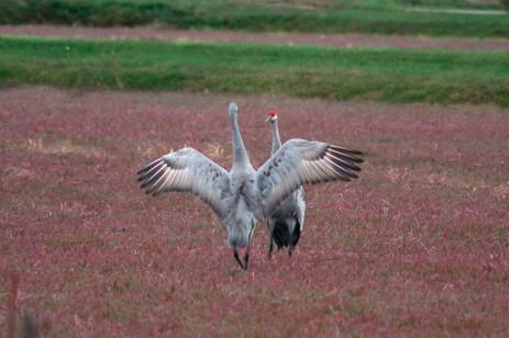 cranes_49v2