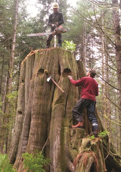 Old Growth Western Red Cedar stumps being harvested