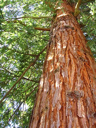 Why Choose Western Red Cedar