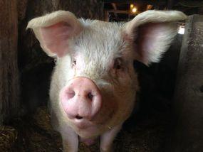Big Tom the pig