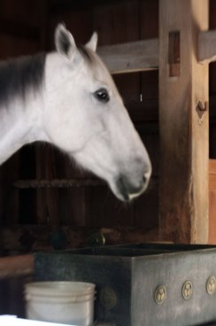 """The sacred horse """"serves"""" 2.5 hours a day in the shrine stable, and enjoys modern accommodation and care the rest of the time"""