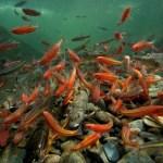 Aquatic abundant fish
