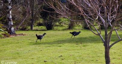 Native Hens