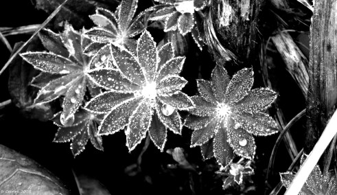 Winter Lupin Leaves (B&W)