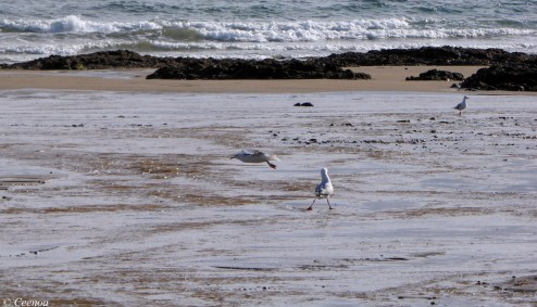 Seagulls at Buttons beach