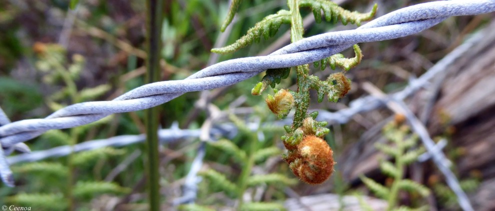 Fern and Barb Wire