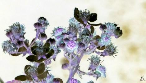 blackberry-blossom-inverted