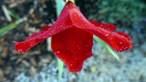 Gladioli (2)