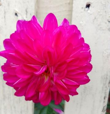 Fence peek Dahlia (1)