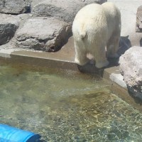 Polar Bear taking a Poo