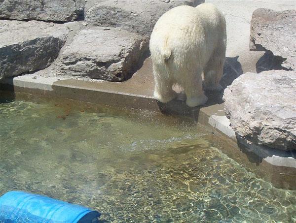 Polar Bear taking a Poo