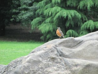 Robin on a Rock