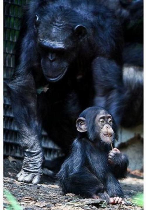 chimpance-down
