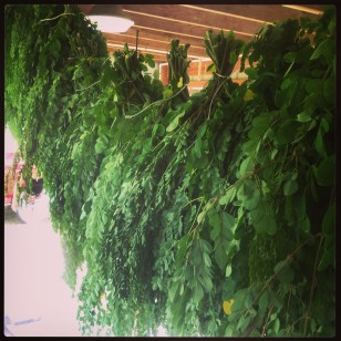 Moringa leaves hanging to dry
