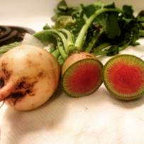 Chinese Red Meat (or watermelon) radishes harvested from the Foster Center community garden.