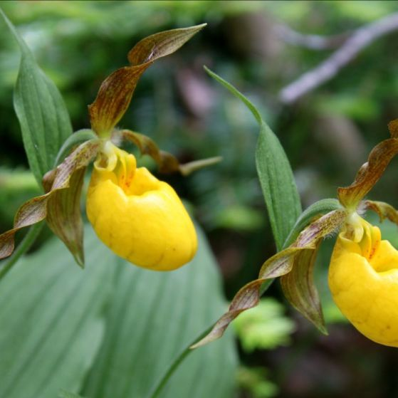 yellow_ladys_slipper_orchid
