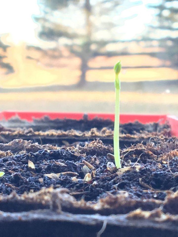 Sweet Pea Emerging