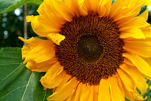 Want to Help Save the Bees? Start Planting Sunflowers