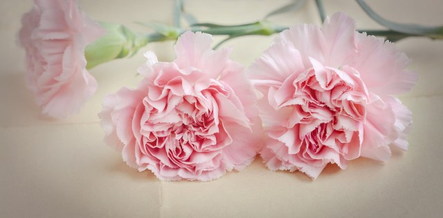 January ~ Carnation