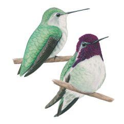 Hummingbird Diagram Of Color Whirlpool Duet Dryer Wiring Costa S Celebrate Urban Birds Hummingbirds